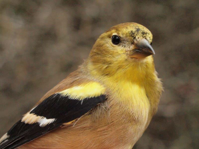 American Goldfinch numbers were up and down over the course of the season; this was the 71st individual banded this fall, which is slightly more than the ten-year mean of 61 for the season (Photo by Simon Duval)