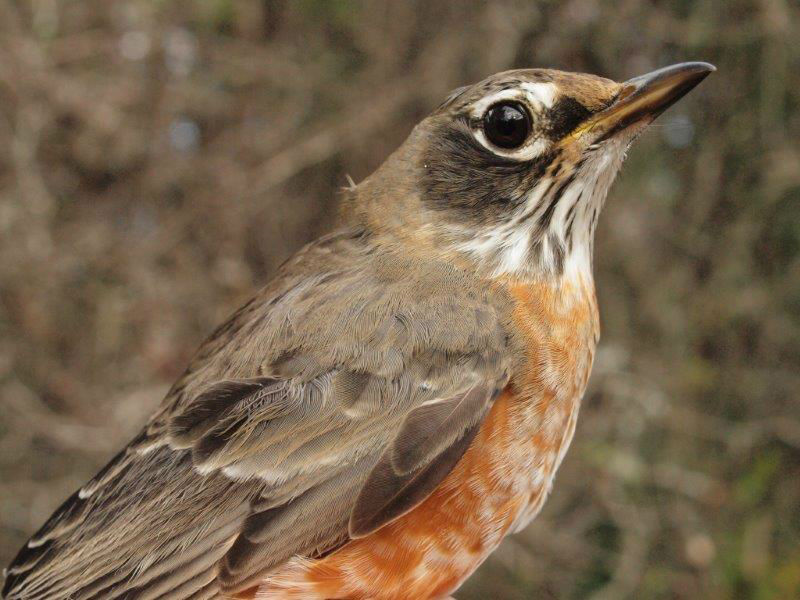 One of the 117 American Robins banded this week (Photo by Simon Duval)