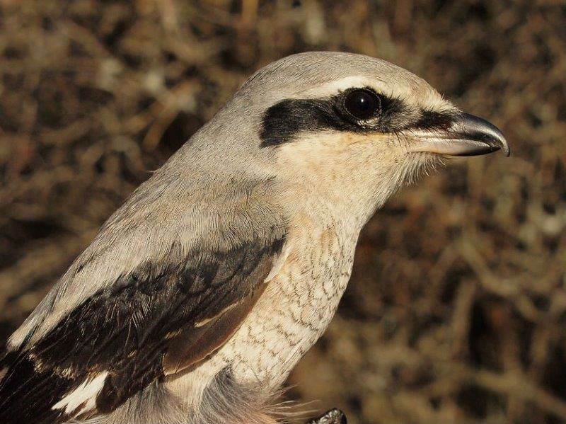 This marked the seventh time in 11 years that a single Northern Shrike was banded in week 13; for a change, this one was an adult (Photo by Simon Duval)