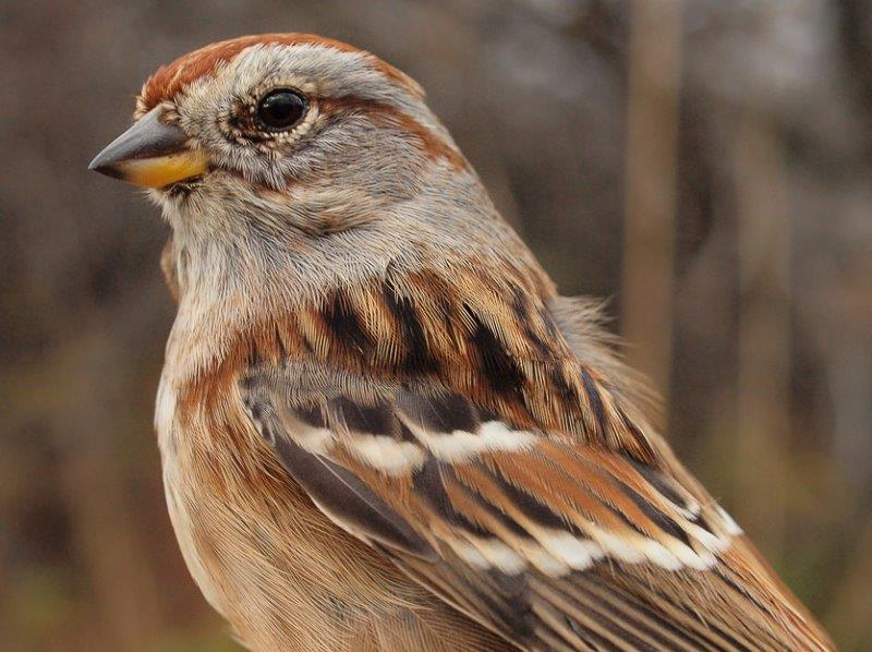This American Tree Sparrow was banded at MBO in January 2010, and returned this week for the seventh year in a row! (Photo by Simon Duval)