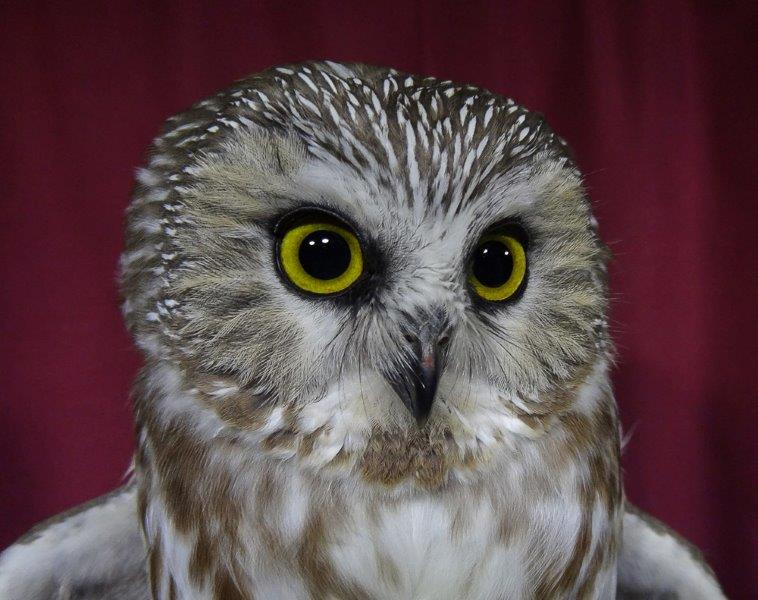 One of this year's record-breaking 272 Northern Saw-whet Owls banded at MBO (Photo by Simon Duval)