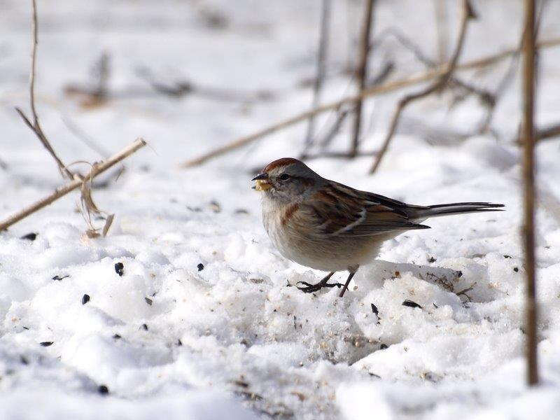 Conditions remain winter-like at MBO, with this American Tree Sparrow among many birds foraging for seeds on the bed of remaining snow (Photo by Simon Duval)