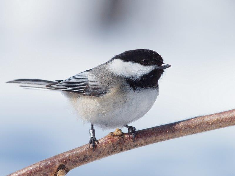 While we wait for spring weather to finally arrive, the resident Black-capped Chickadees are keeping our census observers company on their daily rounds (Photo by Simon Duval)