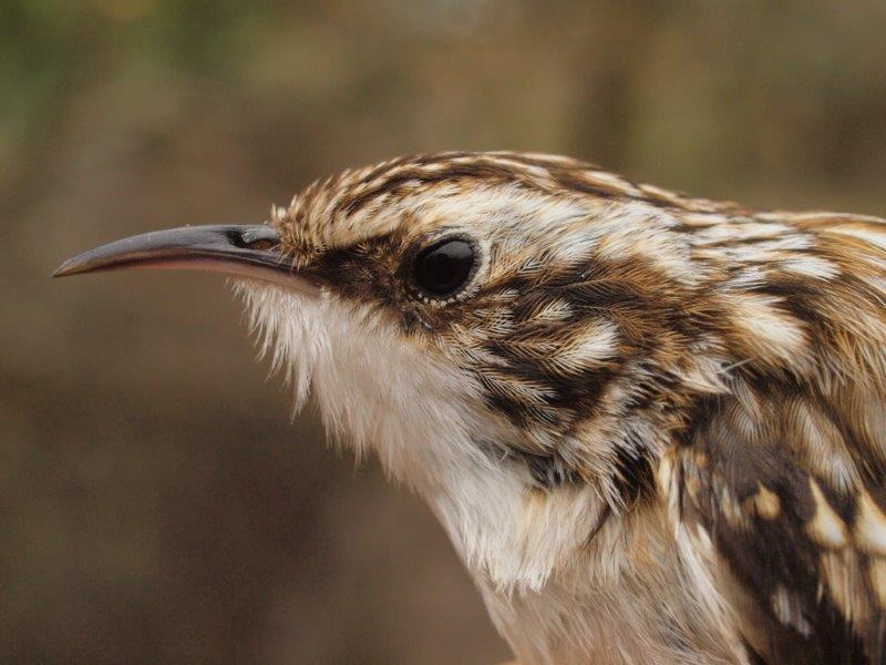 Always among the less common species banded at MBO, Brown Creeper is nonetheless one of the regular April migrants here (Photo by Simon Duval)