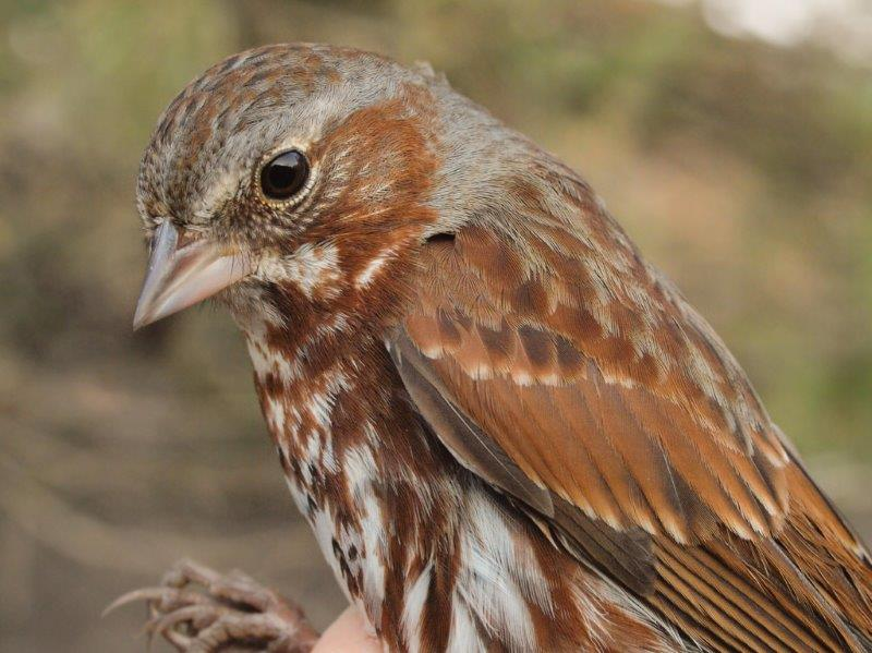 Fox Sparrows dominated the first week of banding this spring (Photo by Simon Duval)