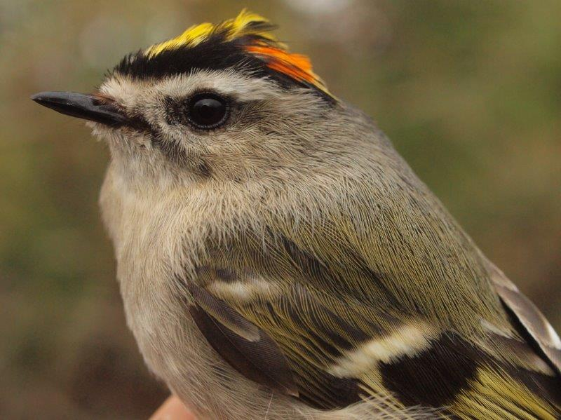 Golden-crowned Kinglets are a predictable highlight of the start of the spring banding season (Photo by Simon Duval)