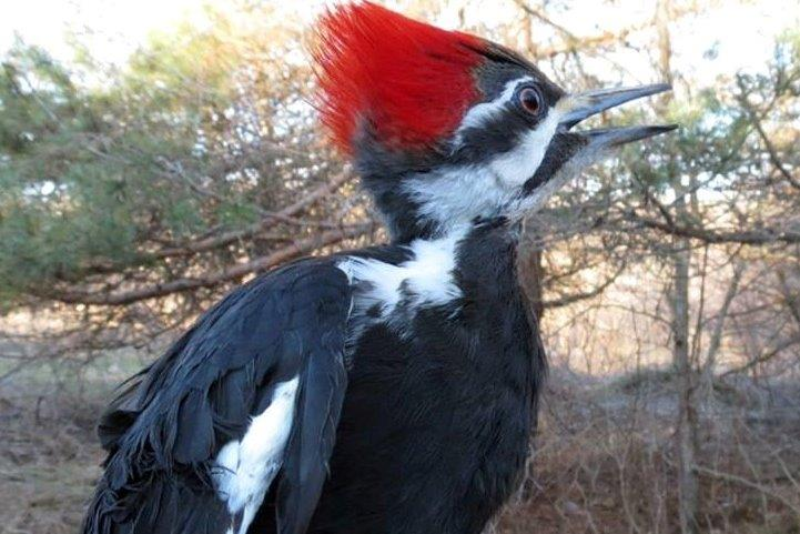 The rarest capture in week 5 was this Pileated Woodpecker (Photo by Gay Gruner)