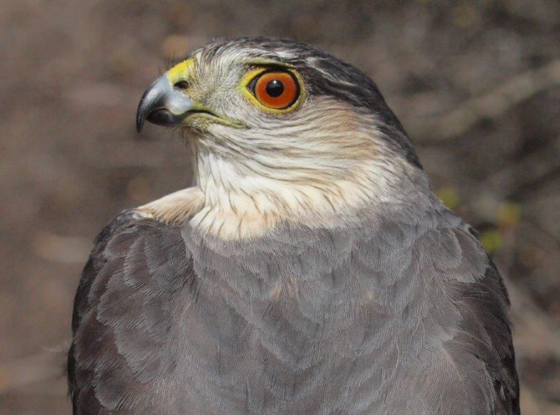 Our first raptor banded in 2015 was this nice after-second-year Sharp-shinned Hawk (Photo by Simon Duval)