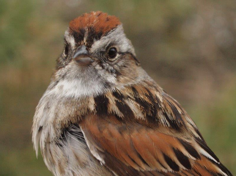 There are always a couple of resident Swamp Sparrows at MBO from spring through fall, as well as a number of additional migrants passing through; time will tell which category this one banded this week belongs to (Photo by Simon Duval)