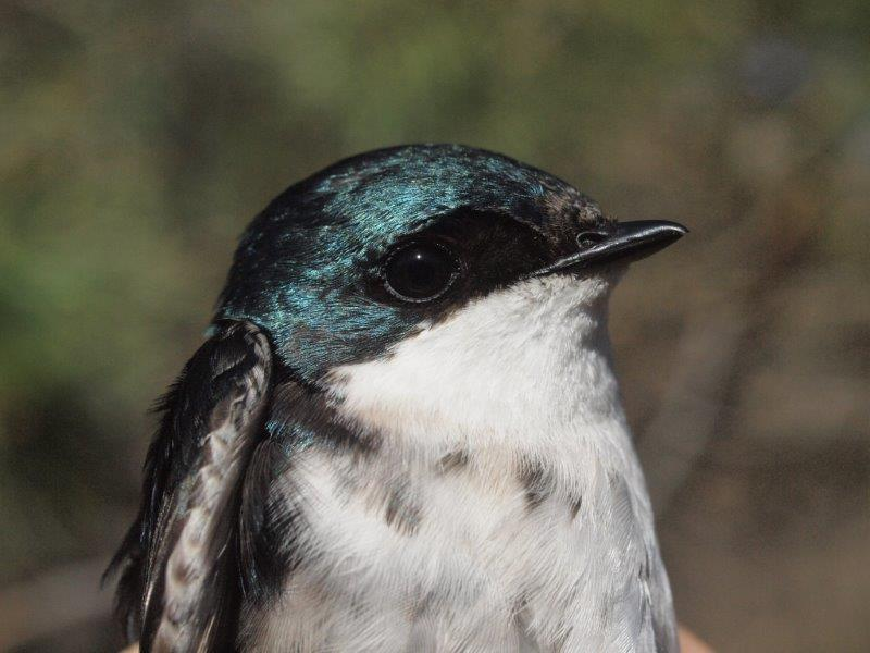 Although arriving somewhat later this spring, Tree Swallows are starting to return to MBO, and we hope at least some pairs will nest on site this year (Photo by Simon Duval)
