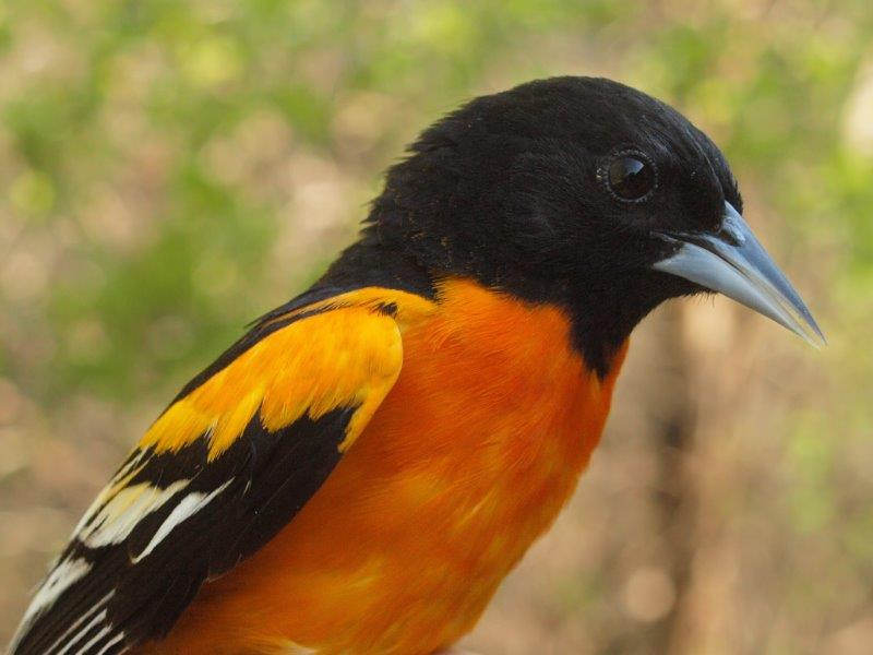The final day of the week brought us this gorgeous after-second-year male Baltimore Oriole, our first of the year (Photo by Simon Duval)