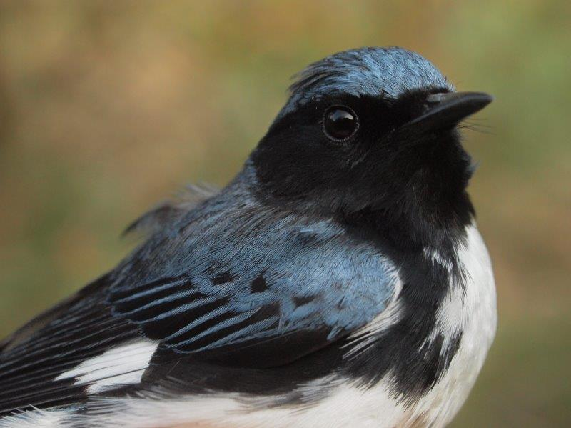 Although a reasonably common bird at MBO in fall, Black-throated Blue Warblers are rather scarce in spring, with no more than 3 banded in any previous season; only one other has been banded as early as week 6 (Photo by Simon Duval)
