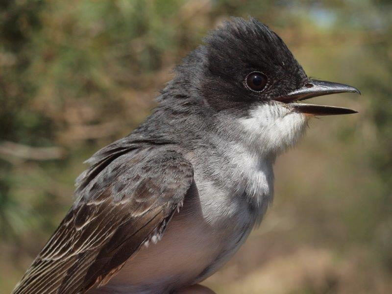 Similarly, we usually have at least one pair of Eastern Kingbirds breeding at MBO – we are curious whether this one will stay or continue migrating (Photo by Simon Duval)