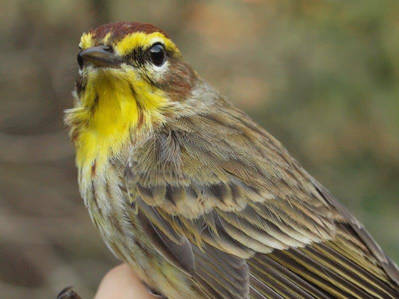 Similarly, Palm Warbler is much more common at MBO in fall than spring; this Western Palm Warbler banded on May 5 was only the 7th banded in 11 years of spring migration monitoring (Photo by Simon Duval)