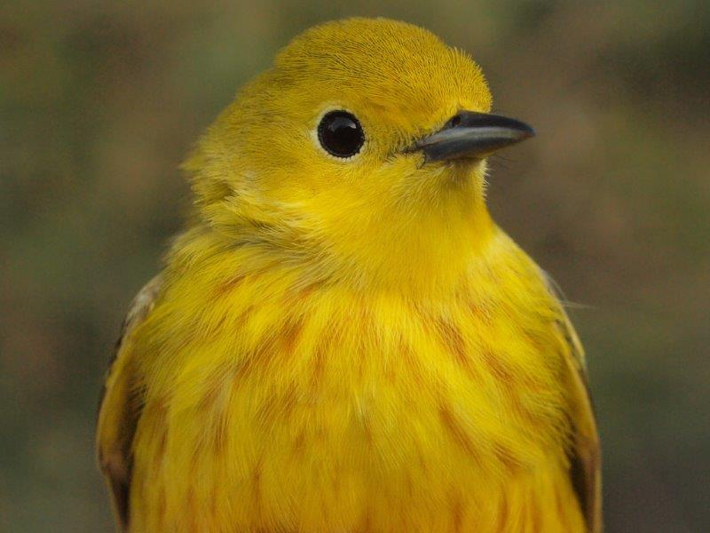 Yellow Warbler is the most common breeding warbler at MBO – will this early arrival hang around, or continue flying farther north? (Photo by Simon Duval)