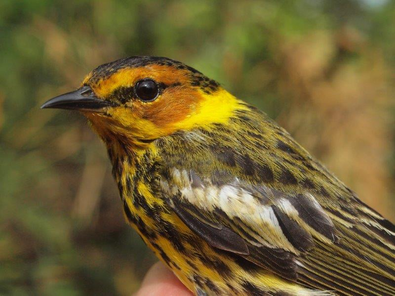 We have only once previously banded more than a single Cape May Warbler in a week in spring (in 2012), so it was a pleasant surprise to be able to compare the male (above) and female (below) banded this week (Photo by Simon Duval)