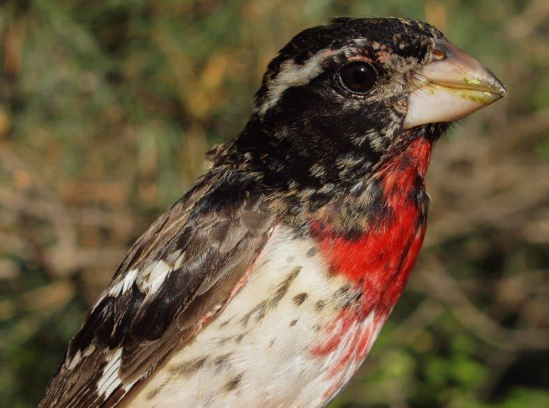 Some species are much easier to age and sex in spring than others – the mottled reddish throat and breast of this Rose-breasted Grosbeak, combined with the extensive patches of brown on the back and wings clearly identify this as a second-year male (Photo by Simon Duval)
