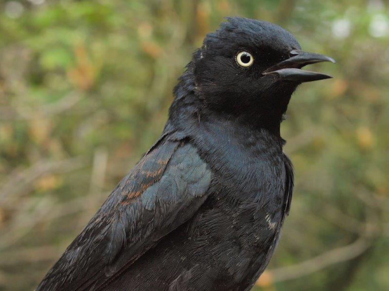 This Rusty Blackbird was only the 15th ever banded at MBO, making it overall the rarest bird of the week – however, this is the third time in the past four years that at least one has been banded during the Spring Migration Monitoring Program (Photo by Simon Duval)