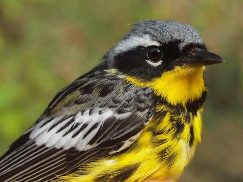 Magnolia Warbler, one of the three warbler species that dominated this week's banding results (Photo by Simon Duval)