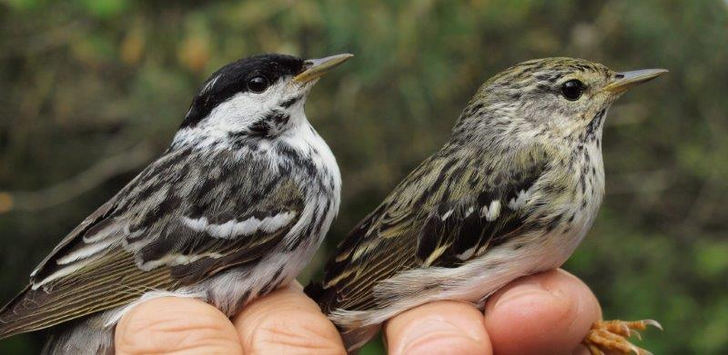 A sure sign that spring migration is approaching its end is the arrival of Blackpoll Warblers, such as this male (left) and female (right) banded at MBO this week (Photo by Simon Duval)