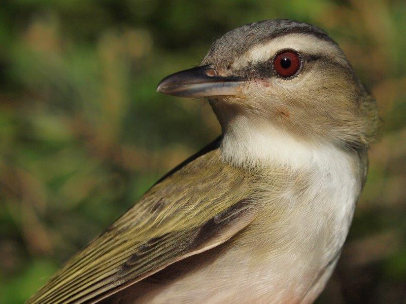 Although common at MBO throughout much of fall migration, Red-eyed Vireos are late spring arrivals, and are therefore usually banded in small numbers each year; the four banded this week tied a single-week high for the season reached twice previously (Photo by Simon Duval)