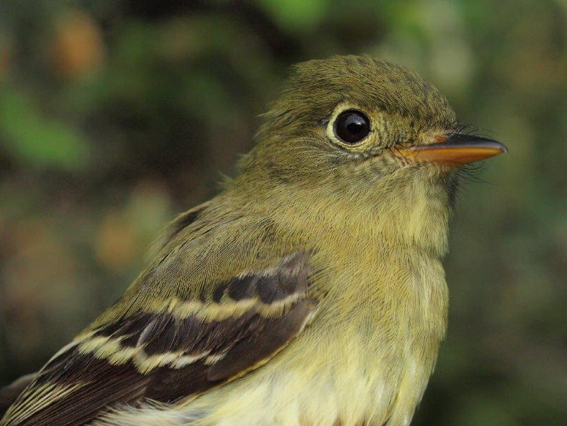 Yellow-bellied Flycatchers are always a treat to band in spring, with an average of only 1.3 per year over the first decade of MBO's operations (Photo by Simon Duval)
