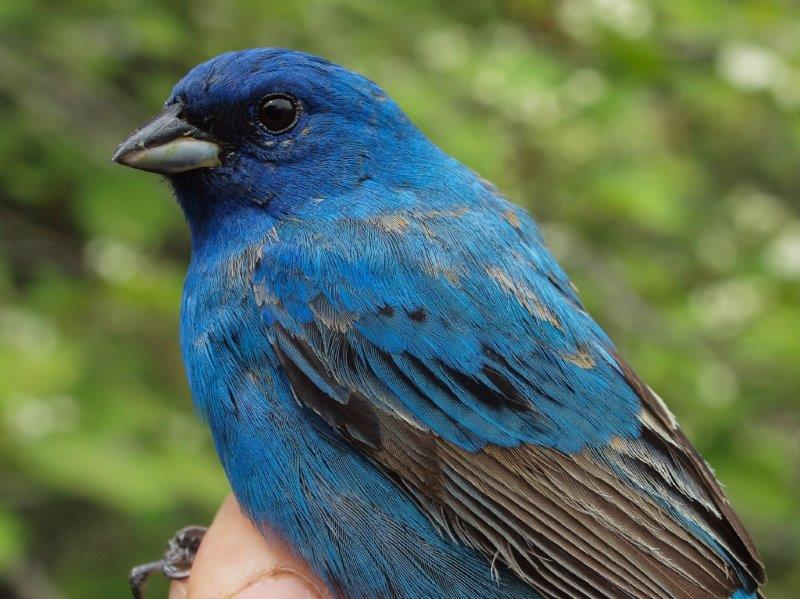 This second-year male Indigo Bunting may hang around MBO to breed this summer (Photo by Simon Duval)
