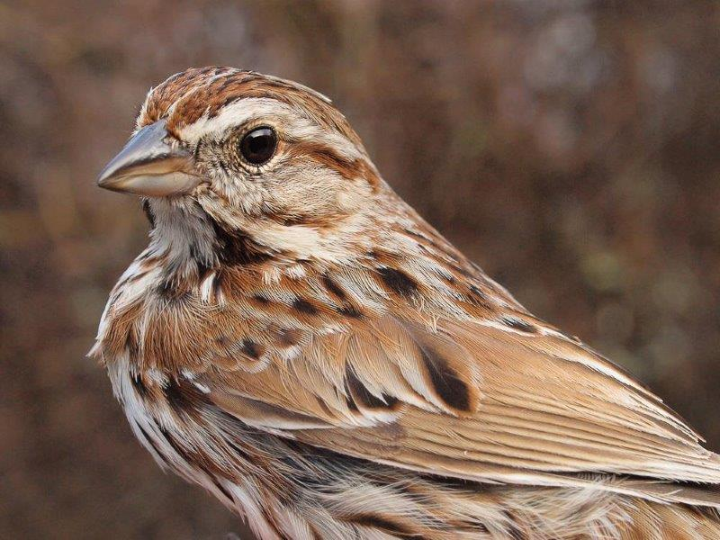 Song Sparrows are reliably one of the earliest of MBO's migrants to return in good numbers in spring (Photo by Simon Duval)