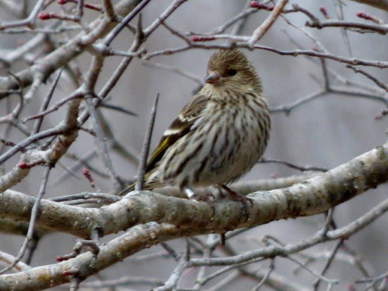 This banded Pine Siskin was part of a flock still hanging around this week, presumably having stayed since March despite the feeders being removed at the beginning of the spring monitoring season (Photo by Marcel Gahbauer)