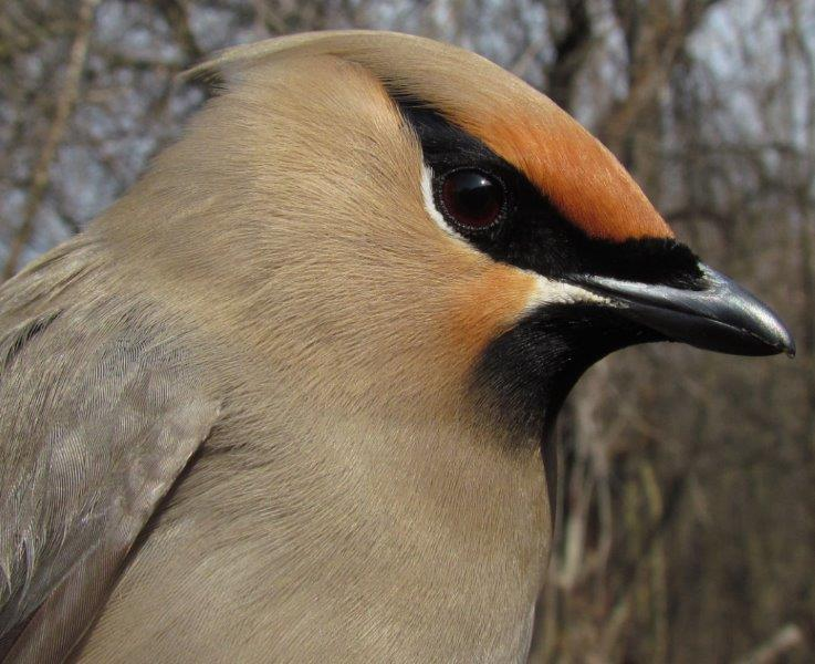 One of the incredible 14 Bohemian Waxwings banded on the first day of banding this spring (Photo by Lisa Keelty)