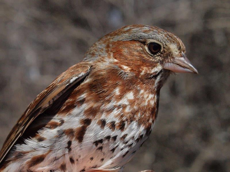 Fox Sparrow, typically one of the early-season migrants that is targeted during week 4 (Photo by Simon Duval)