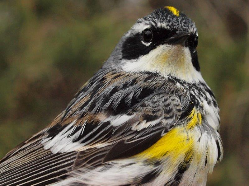 This male Yellow-rumped Warbler heralds the return of warblers to MBO – over the course of the next three weeks, we expect to observe at least another 20 species (Photo by Simon Duval)