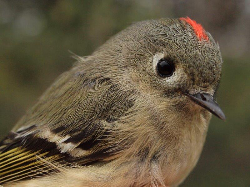 Ruby-crowned Kinglet was the bird of the week, with 38 banded, the most in a single week in spring since 53 in week 5 of 2009. (Photo by Simon Duval)
