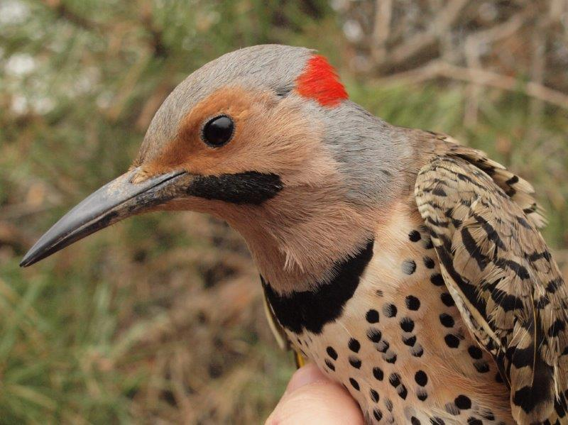 Although Yellow-shafted Flickers are fairly common at MBO, we band on average just one per spring, so we were fortunate to band this male this week, after already banding a female (below) last week. (Photos by Simon Duval)