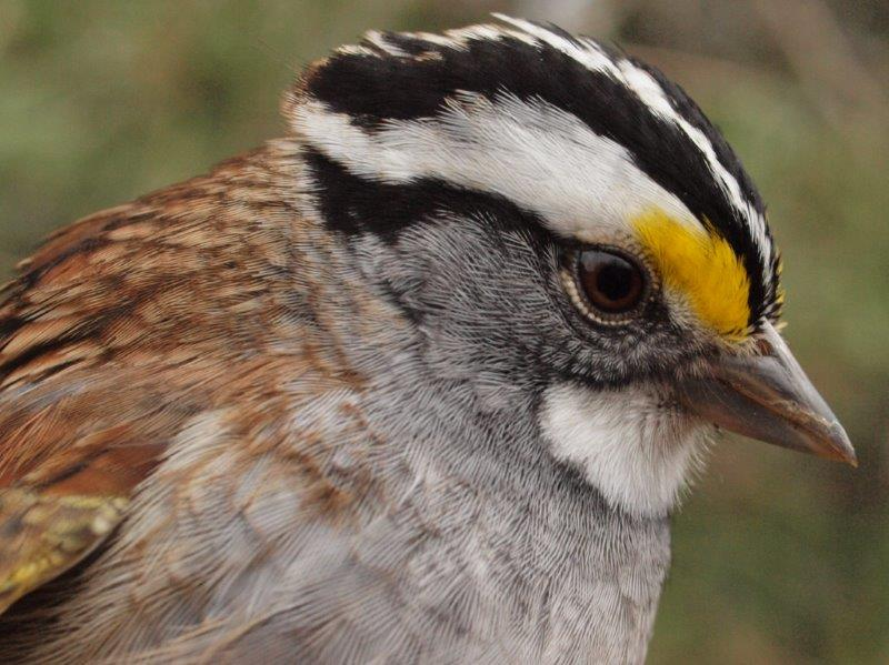 White-throated Sparrows are moving through MBO in good numbers this spring, and outnumbered all other species banded this week (Photo by Simon Duval)