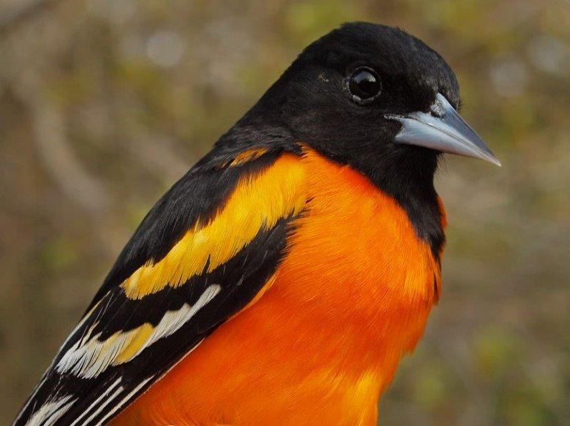 Among the many colourful birds returning to MBO this week was this striking after-second-year male Baltimore Oriole (Photo by Simon Duval)