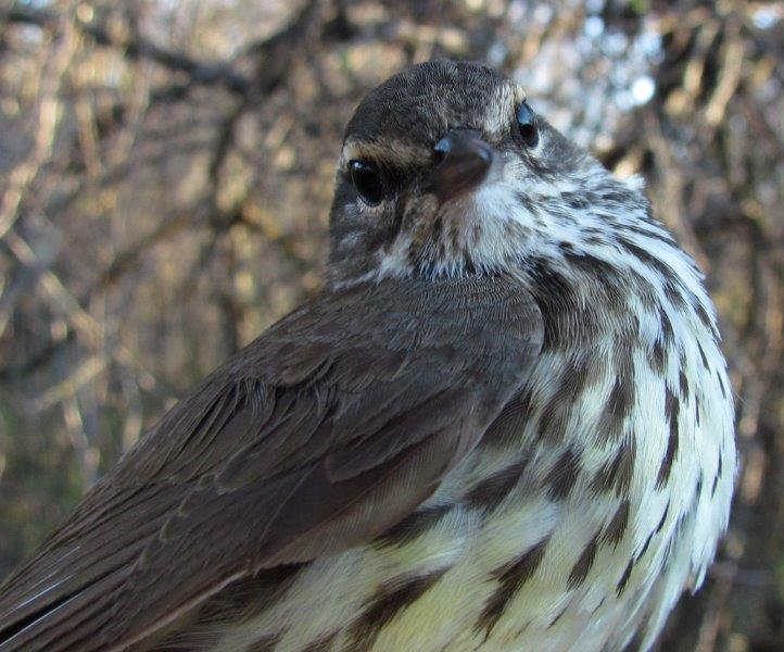 Northern Waterthrush was the second most commonly banded warbler this week, with 13 individuals (Photo by Gay Gruner)
