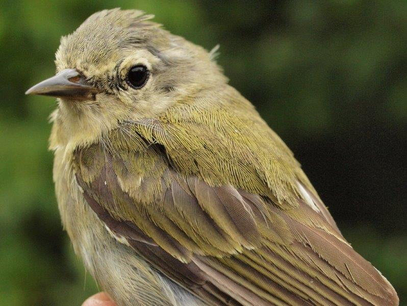 This somewhat scruffy Tennessee Warbler was among the 62 of its kind banded at MBO this week, accounting for over one-quarter of the week's total (Photo by Simon Duval)