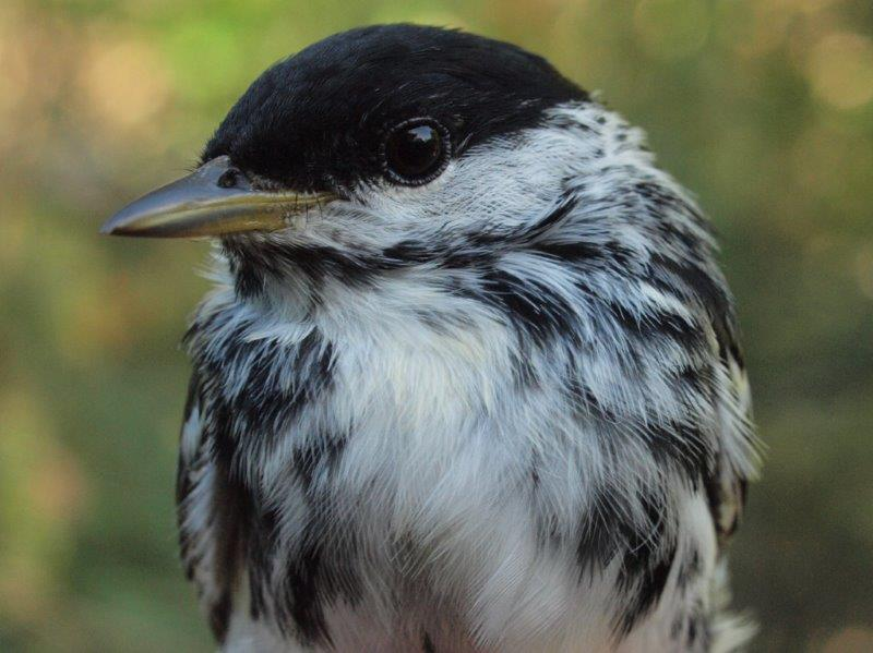 A traditional end-of-spring bird, Blackpoll Warbler was actually unusually scarce in the final week of the season this year (Photo by Simon Duval)