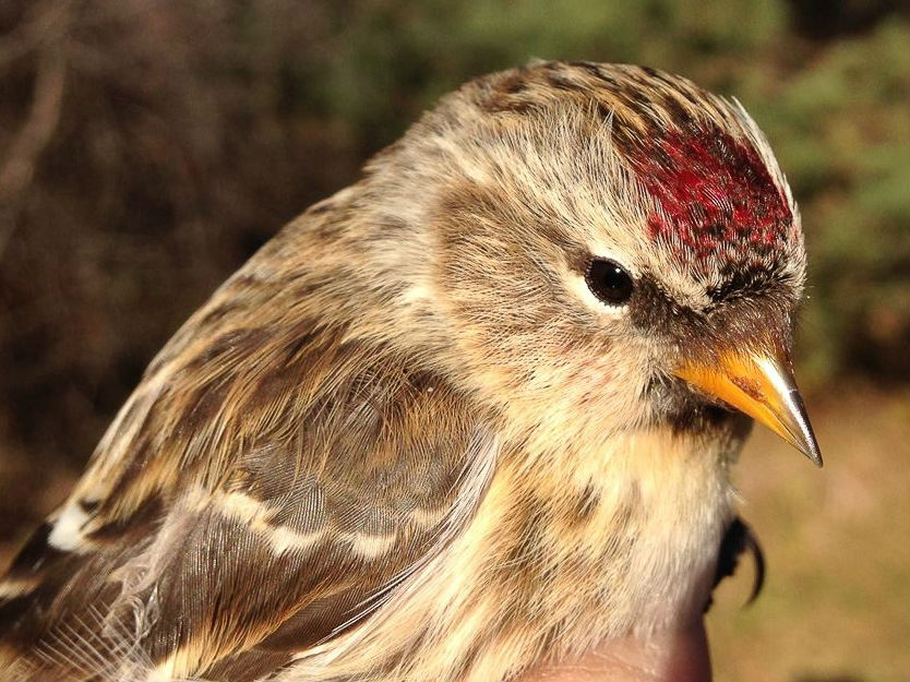 Despite a record count of Common Redpolls flying past l'Observatoire d'oiseaux de Tadoussac in October, few seem to have made it as far as Montreal yet, with this being one of just two banded at MBO this month (Photo by Simon Duval) Photo: 16wi03_PISI… Also scarce so far this winter are Pine Siskins, with just two banded at MBO as well (Photo by Simon Duval)