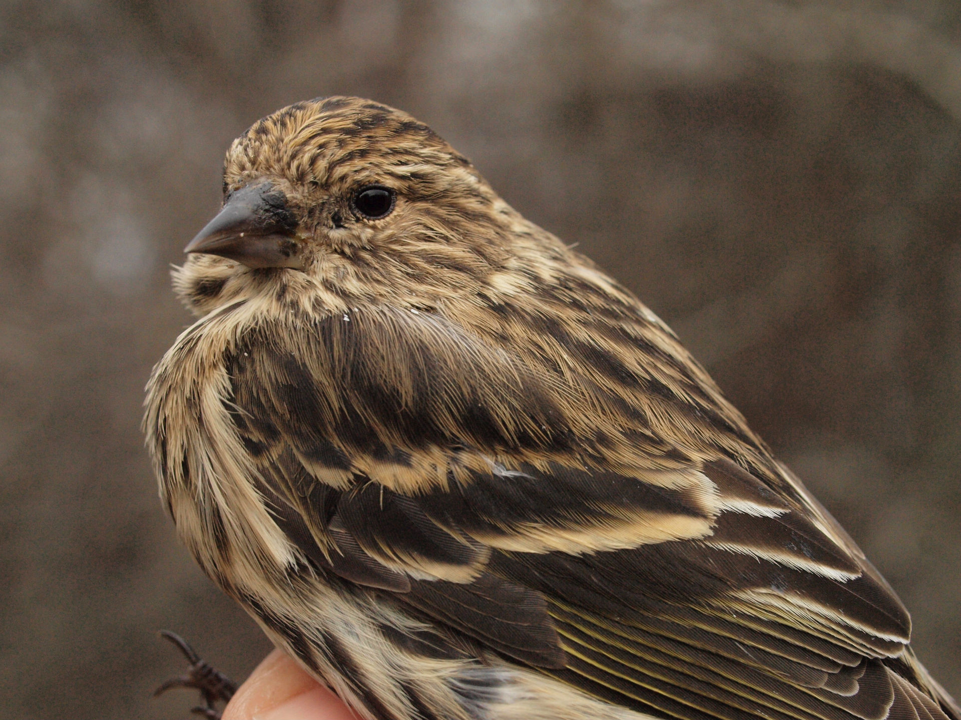 Also scarce so far this winter are Pine Siskins, with just two banded at MBO as well (Photo by Simon Duval)