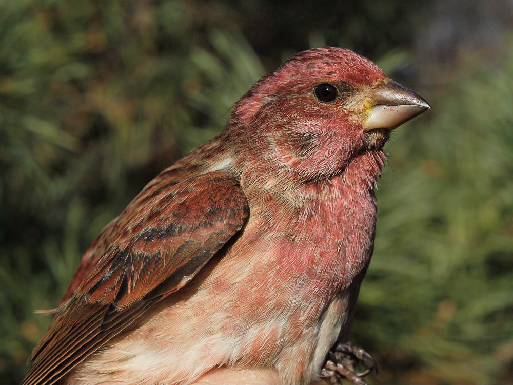 One of a record-breaking 15 Purple Finches banded at MBO during this period (Photo by Simon Duval)