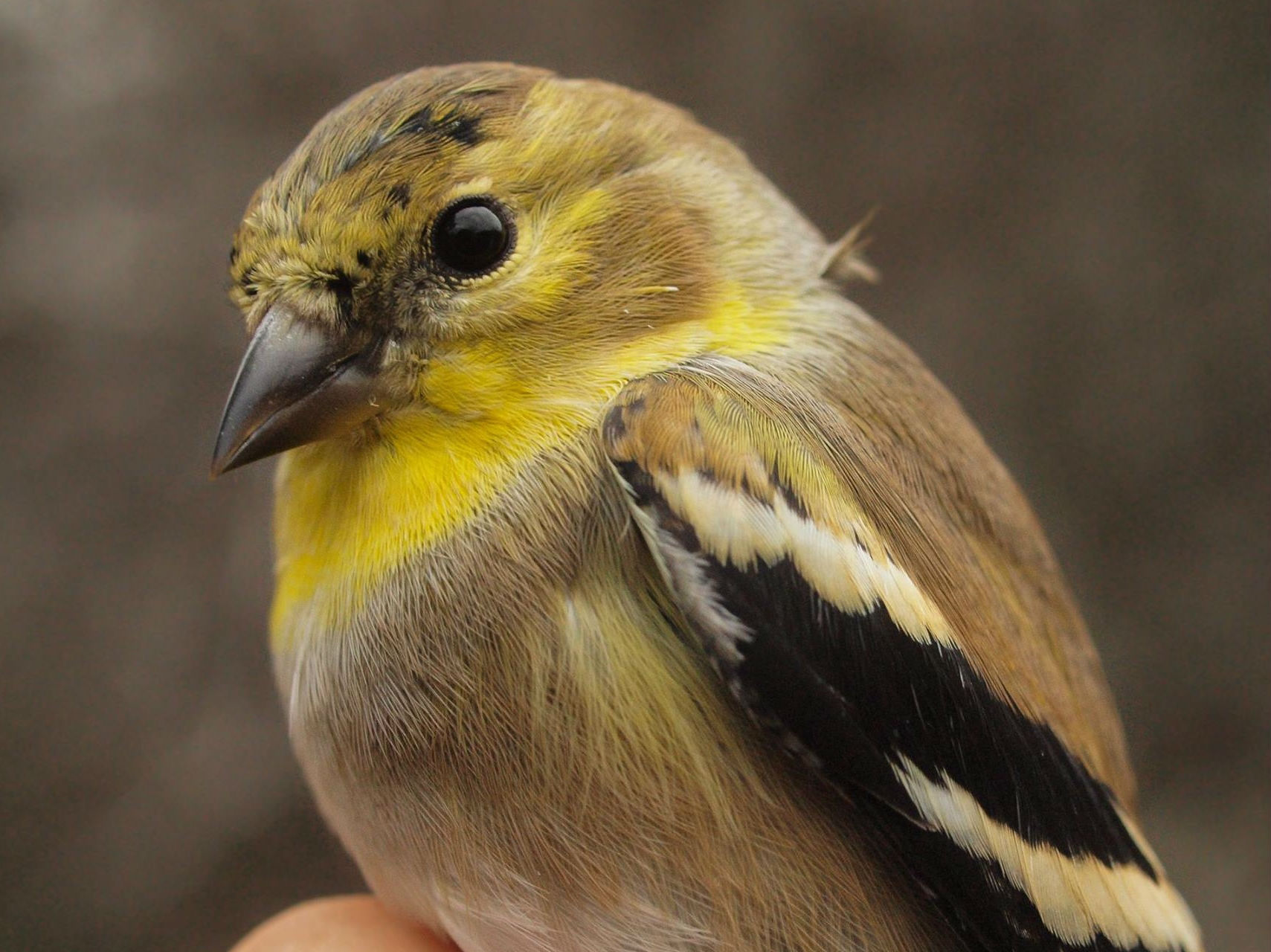 American Goldfinches are always common at MBO in winter, but this year they are being banded in unprecedented numbers (Photo by Simon Duval)