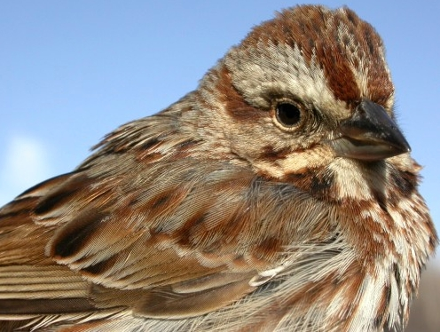 A milestone at MBO - the Song Sparrow above was our 1000th bird banded since starting operations last May.  An appropriate species with which to mark the occasion,as later the same day we banded our 100th Song Sparrow!