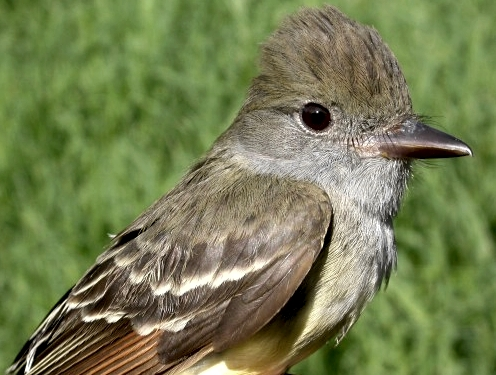 The 63rd and final species banded this spring, a Great Crested Flycatcher caught on June 2. (Photo by Marcel Gahbauer)-