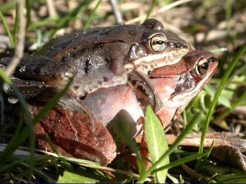 A pair of wood frogs caught in a private moment as they hopped across the path at net C1. (Photo by an accidentally voyeuristic Marcel Gahbauer)