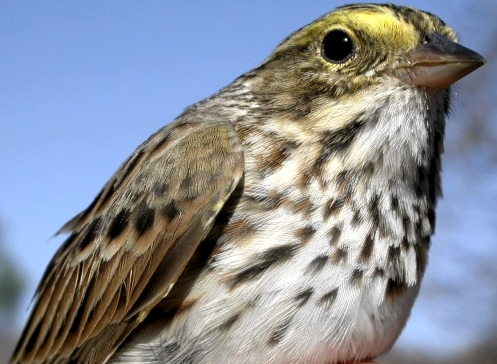 MBO's first Savannah Sparrow was this week's banding highlight.   (Photo by Marcel Gahbauer)-