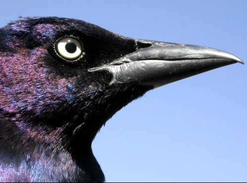 An imposing beak, not to be trifled with.  With 9 Common Grackles banded this week, a few of us were given a quick reminder of the special challenges of working with these rather large and sometimes aggressive birds.  (Photo by Marcel Gahbauer)-