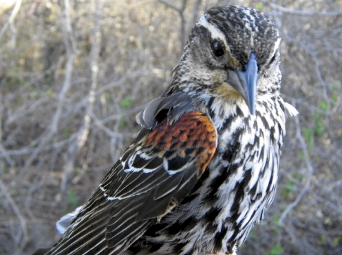 This female Red-winged Blackbird, recaptured this week, was one of the very first birds banded at MBO when we tested out nets in early May 2004.  She was an after-second-year bird at that time, which means that she is now at least 4 years old. (Photo by Marie-Anne Hudson)
