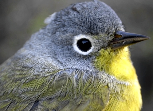One of only three warblers banded at MBO so far this spring, this female Nashville Warbler was caught early on Friday morning.  (Photo by Marcel Gahbauer)-